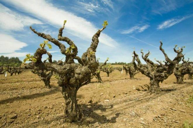 Советы дачникам: правильная обрезка старого винограда весной