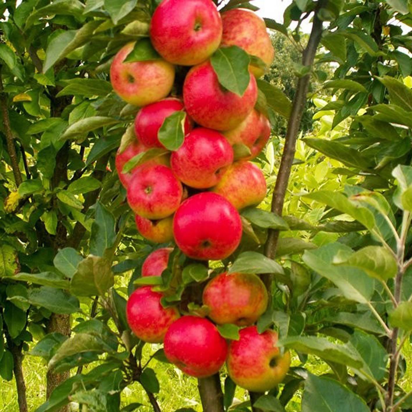 Колоновидные яблони — рекомендации по выращиванию