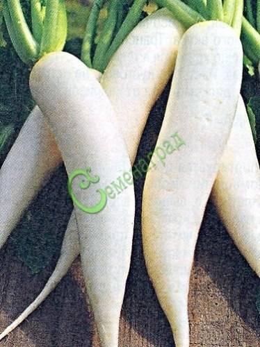 Сладкая китайская редька – особенности выращивания