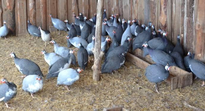 Сколько дней высиживает яйца цесарка: как вывести цыплят без инкубации