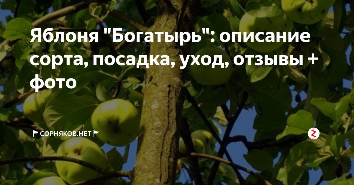 Яблоня богатырь - особенности выращивания популярного сорта