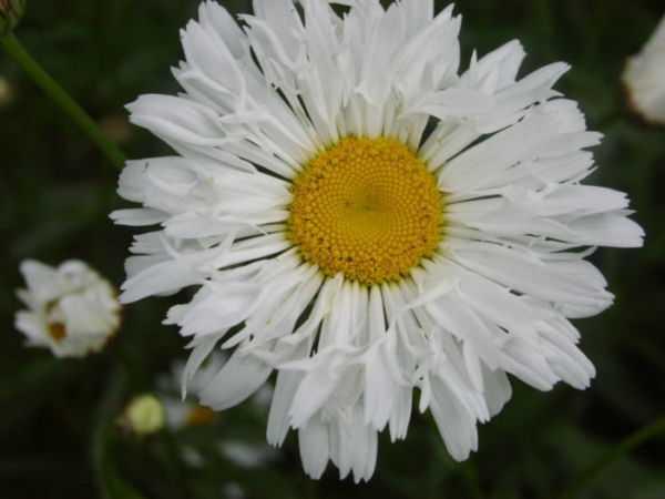 Посадка, уход, обрезка: выращивание ромашки садовой крупной многолетней