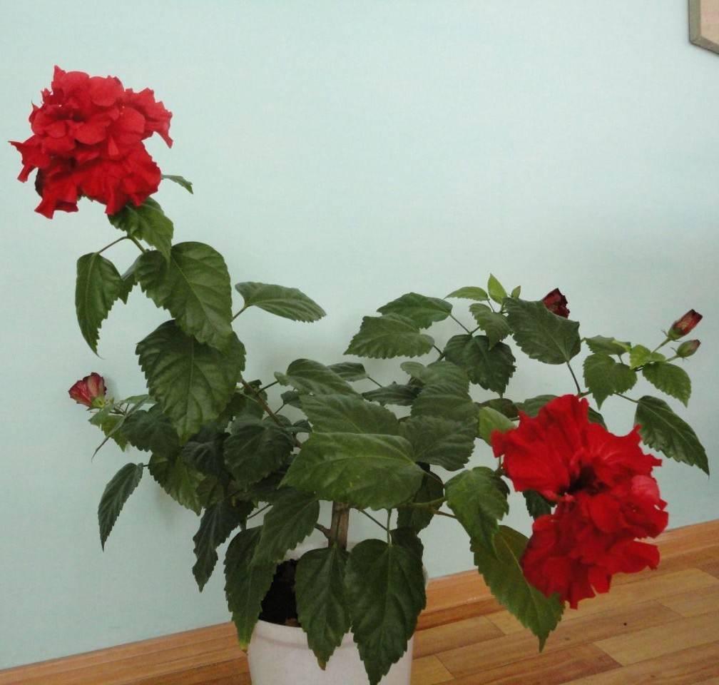 Миниатюрные розы в горшках – уход в домашних условиях