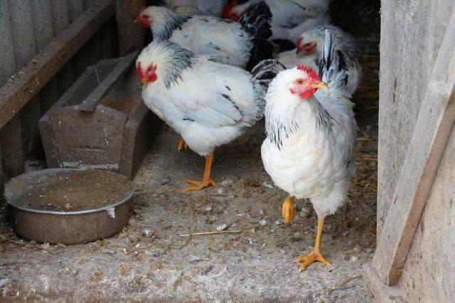 Болезни ног у кур: самые популярные заболевания и их лечение