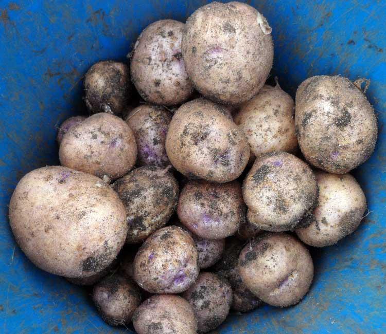 Синеглазка: описание сорта картофеля, характеристики, агротехника