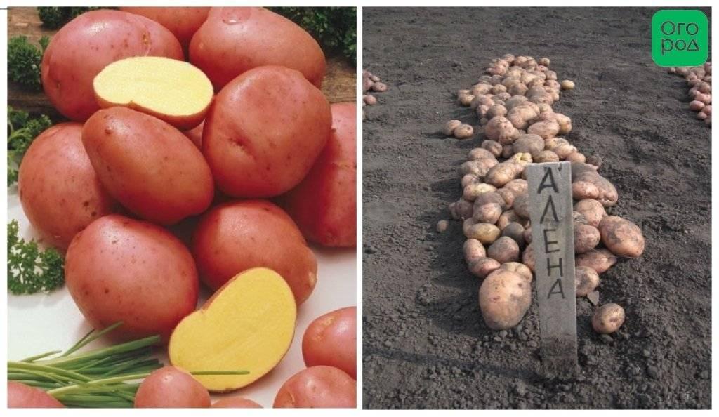 Урожайный картофель для сибири: 9 лучших сортов по отзывам дачников