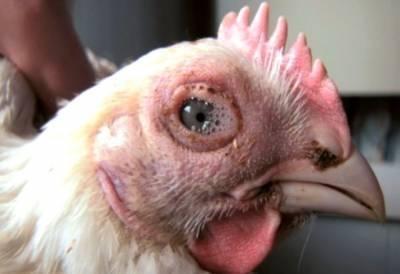 Чихают цыплята бройлеры чем лечить