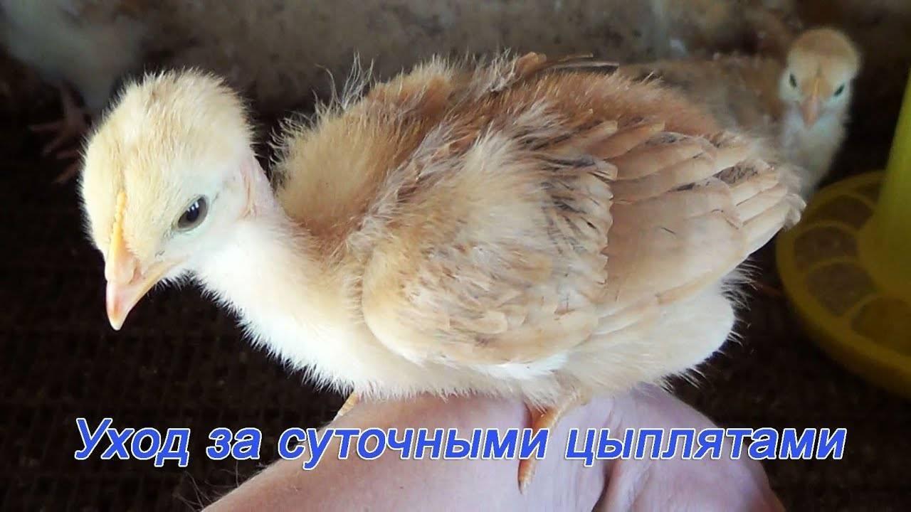 Основы правильного ухода за суточными цыплятами