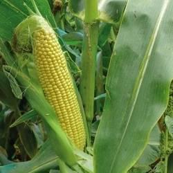Сорта кукурузы сахарной