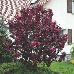 Пурпурная декоративная яблоня недзвецкого