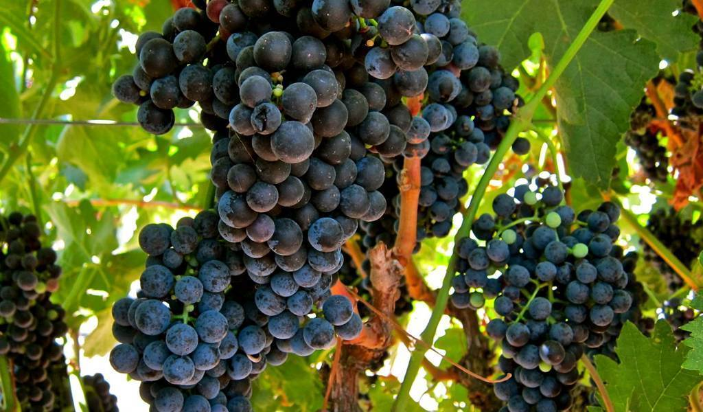 Виноград темпранильо (tempranillo) — характеристика и описание сорта, вкус вина
