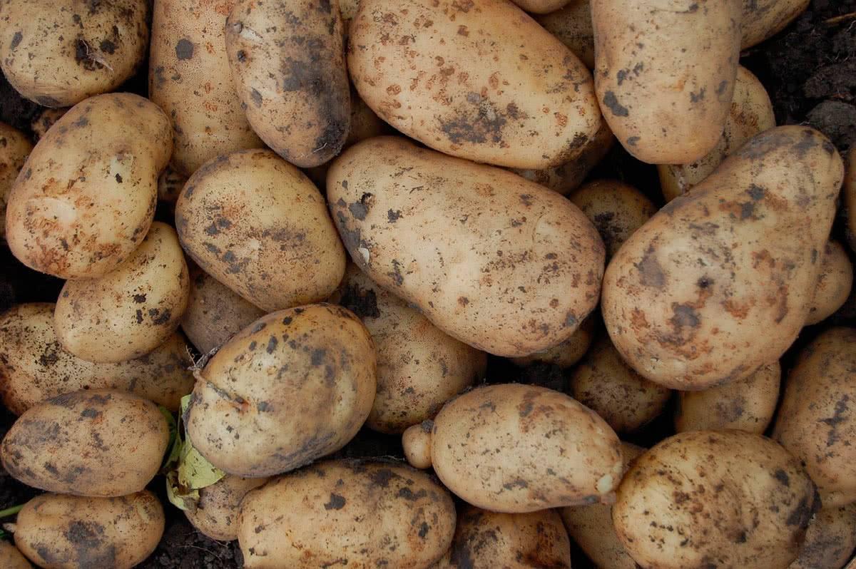 Когда всходит картофель после посадки