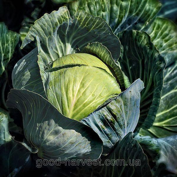 Сорт капусты тобия — описание и правила выращивания