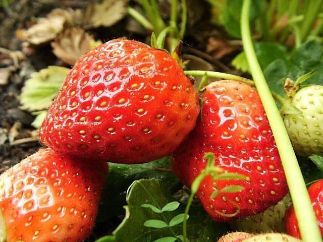 Клубника «чамора туруси»: описание, характеристики, агротехника выращивания