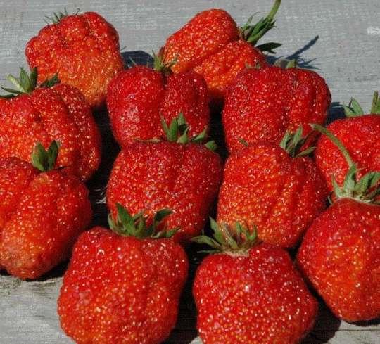 Клубника фестивальная - рекомендации по применению, посадка и выращивание сорта (100 фото)