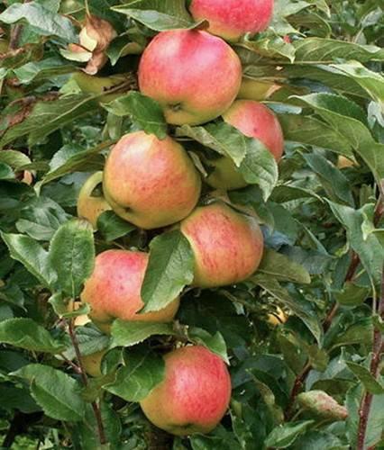 Сорт яблони колоновидная президент – обзор с описание и фото