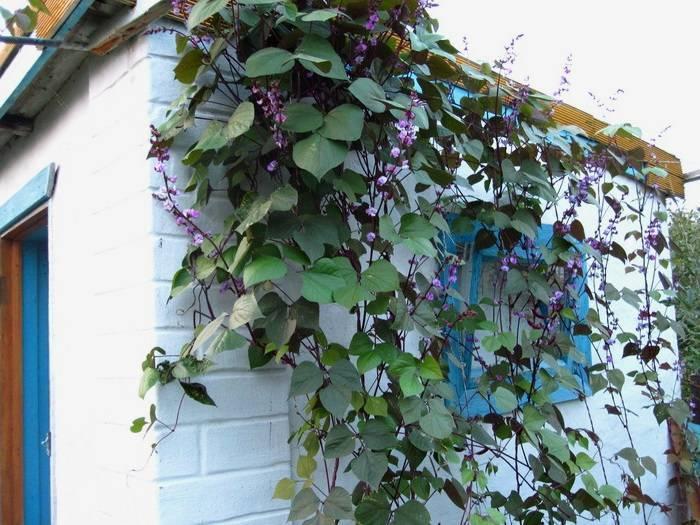 Как посадить стручковую (спаржевую) фасоль и выращивание в открытый грунт в огороде или на даче