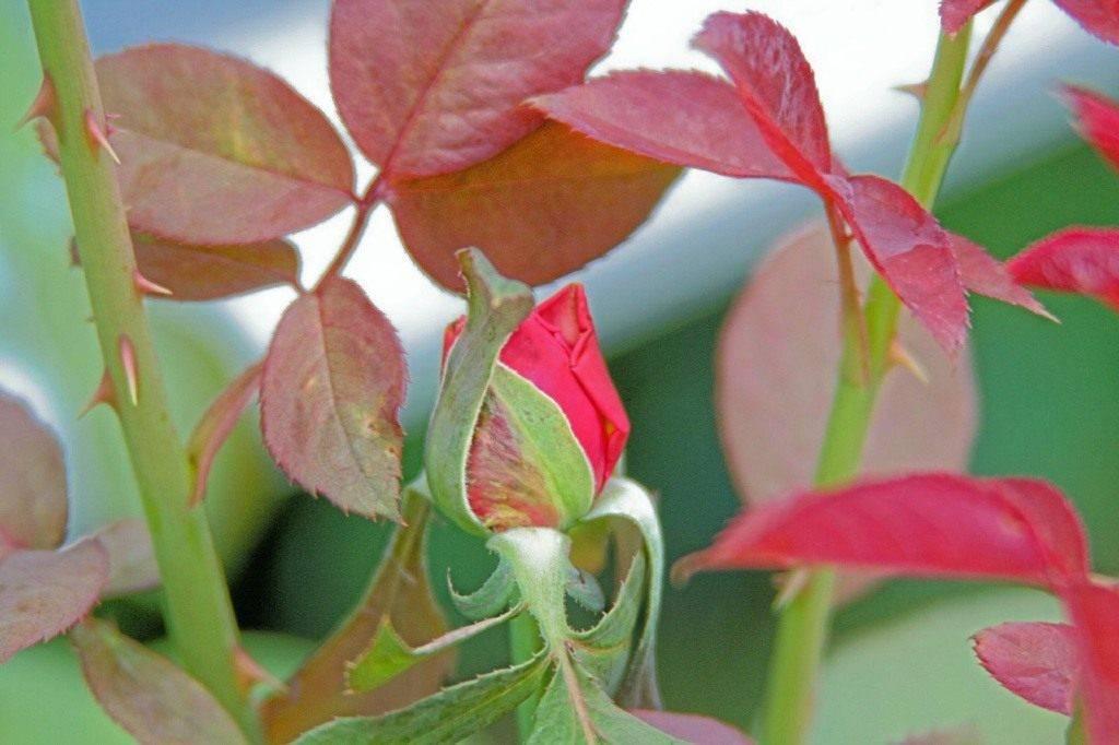 Почему на листьях розы появляются дырки: что делать, чем обработать цветок