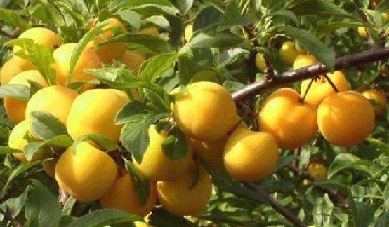 Характеристика и особенности выращивания сливы сорта светлячок