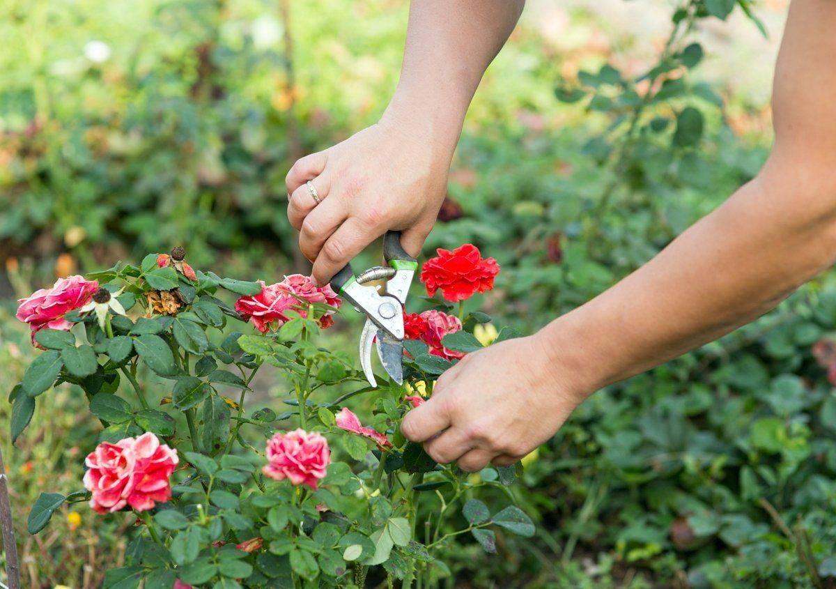 Как пересадить взрослую розу