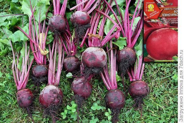 Свекла бордо: описание сорта и 3 этапа агротехники