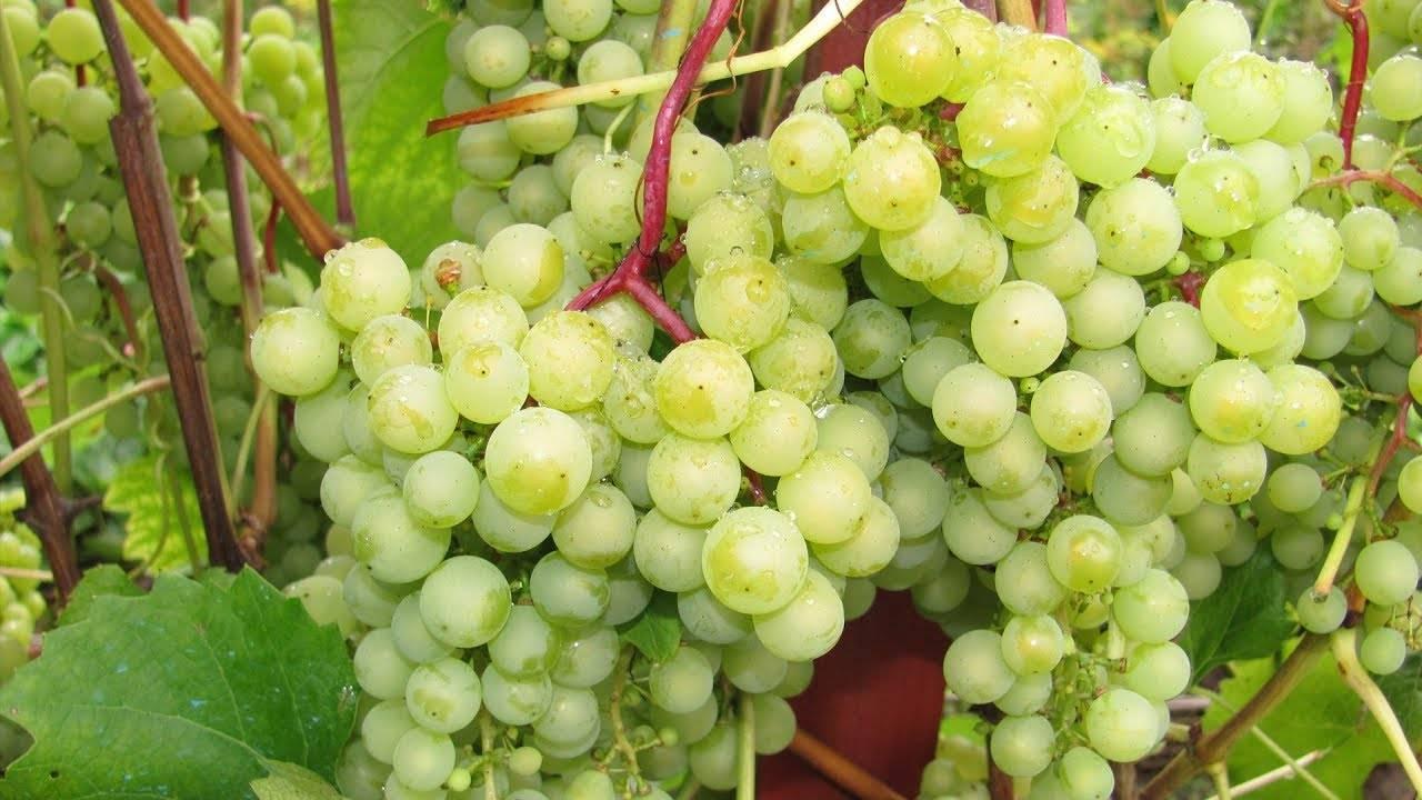 Обрезка винограда. как привести в порядок старый виноград?