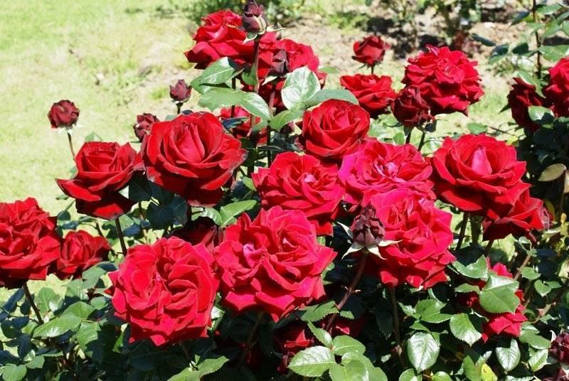 Чайно-гибридная роза дезире (desiree) - описание, агротехника, советы   о розе