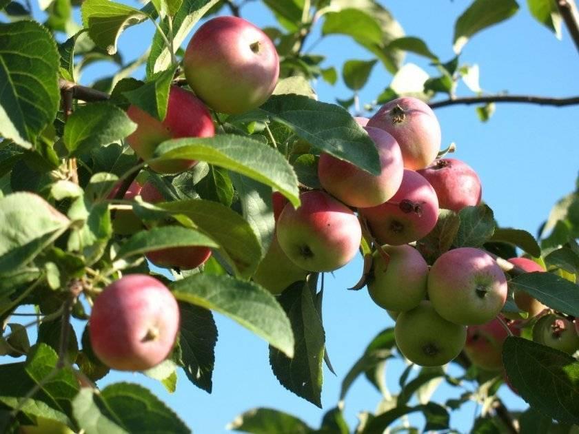 Подробная характеристика и особенности выращивания яблони сорта былина