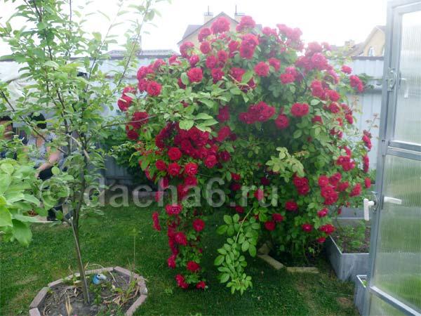 Розы в саду: уход, подкормка