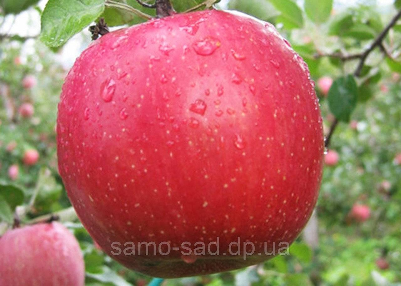Яблоня фуджи: фото, описание, выращивание