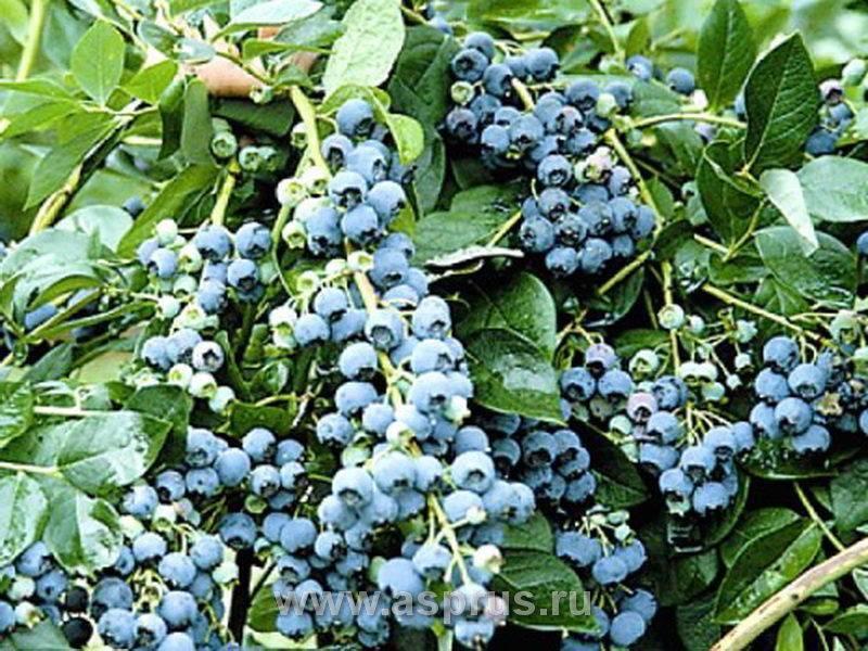 Голубика герберт: правила выращивания, польза и вред