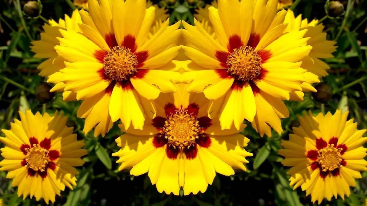 Кореопсис: посадка и уход на фото, выращивание цветка из семян