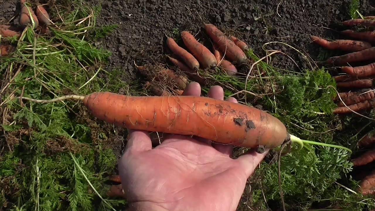 Самая сладкая морковь: обзор лучших сортов и видео-инструкция подготовки семян к посадке