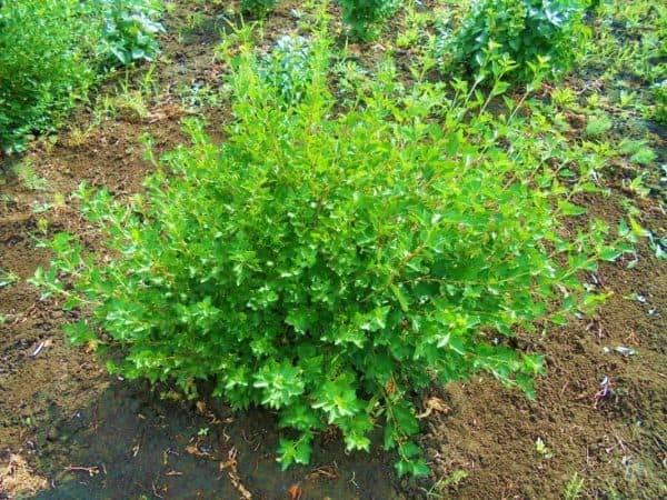 Сорт смородины альпийская или как украсить свой участок