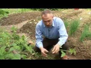 Как вывести малину с огорода или в саду навсегда: выкорчевать, уничтожить