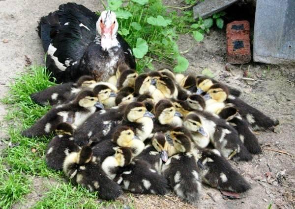 Сколько сидят на яйцах утки разных пород - общая информация - 2020