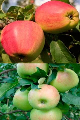Описание сорта яблони кандиль орловский