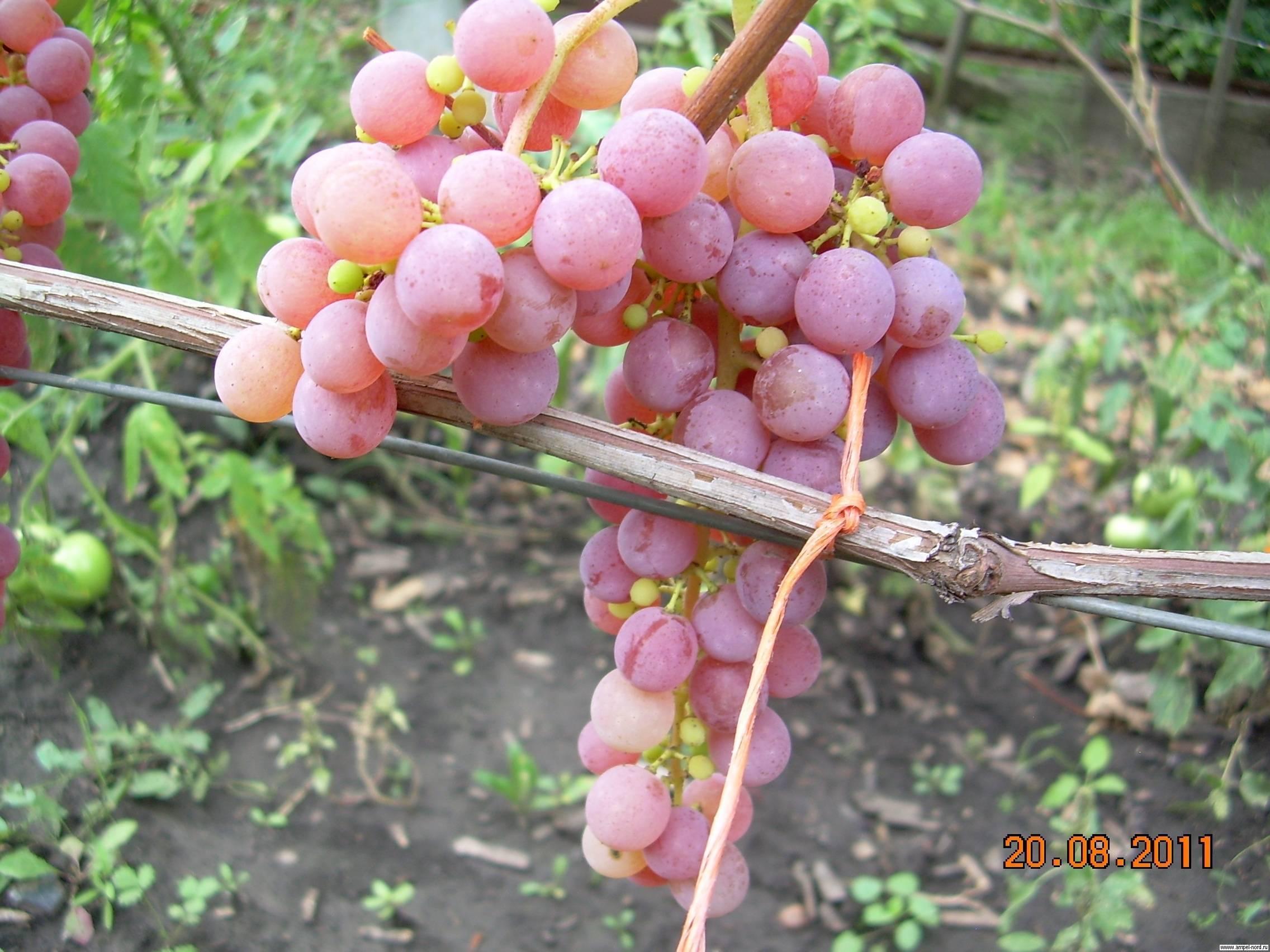 Виноград кишмиш рилайнс пинк сидлис: описание, фото и отзывы