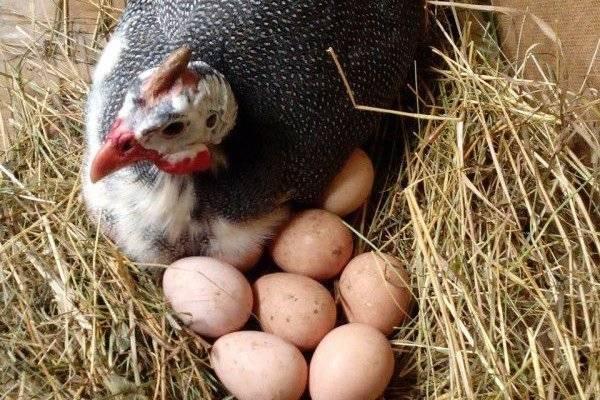 Цесарки (47 фото): содержание и разведение птиц в домашних условиях вместе с курами. описание обыкновенной цесарки и других пород. как они выглядят?