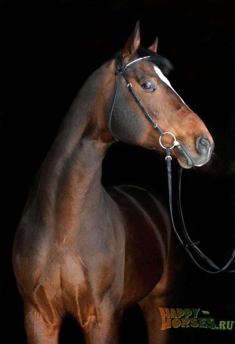 Описание  и особенности ганноверской породы лошадей