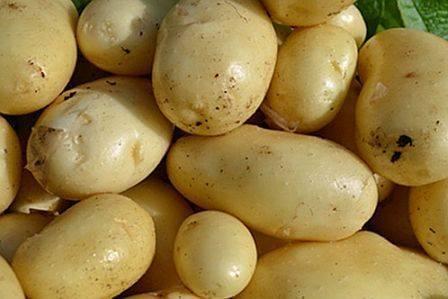 Картофель сорокодневка уход, посадка и сохранение