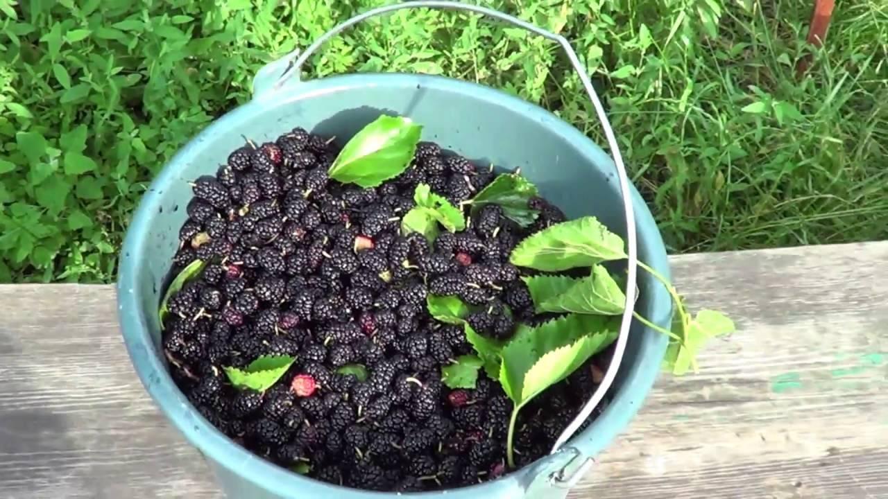 Растет ли в сибири шелковица? зимостойкие самоплодные сорта шелковицы для выращивания в холодном климате
