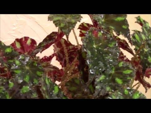 Бегония тигровая (30 фото): описание бегонии бауэра и уход за ней в домашних условиях. как она цветет? размножение бегонии тигровой черенками и листом