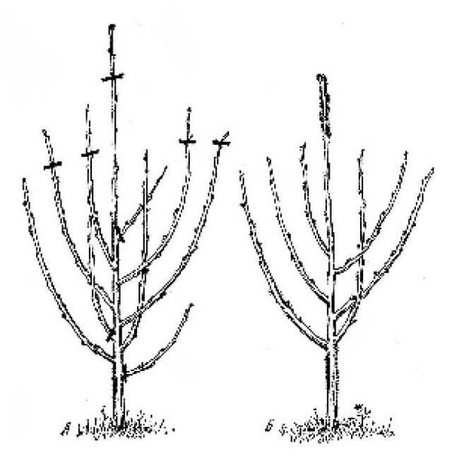 Простые правила весенней обрезки вишни