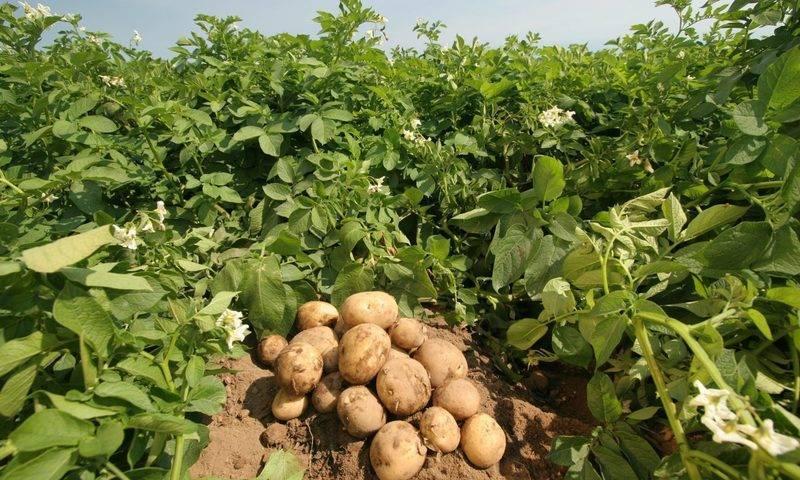 Как посадить картошку по-китайски