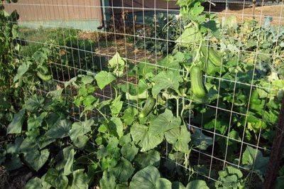 Как правильно посеять огурцы в открытый грунт – 9 способов