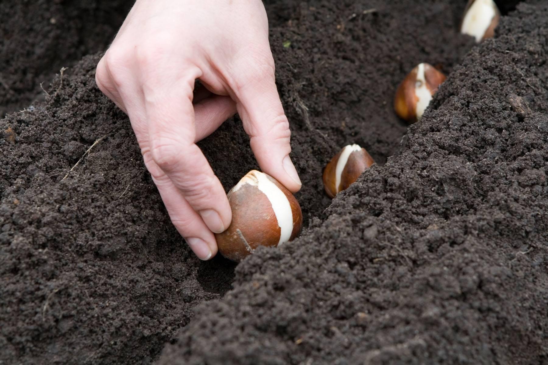 Как хранить луковицы тюльпанов в квартире до посадки: советы, видео
