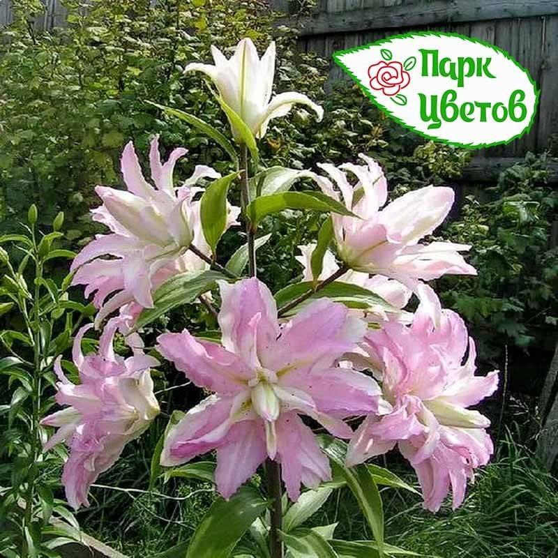 Кустовые лилии (32 фото): посадка и уход за кустами цветов в открытом грунте. названия и описание высоких и других сортов