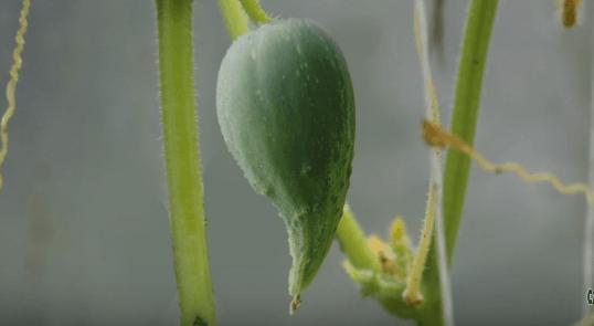 Когда и какими удобрениями подкормить огурцы в теплице для большого урожая