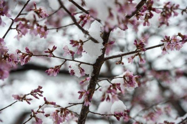 Вишня цветет, но не плодоносит: что делать